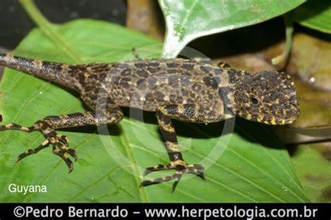 Plica plica   The Reptile Database