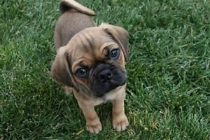 baby puggle | Puggles | Pinterest