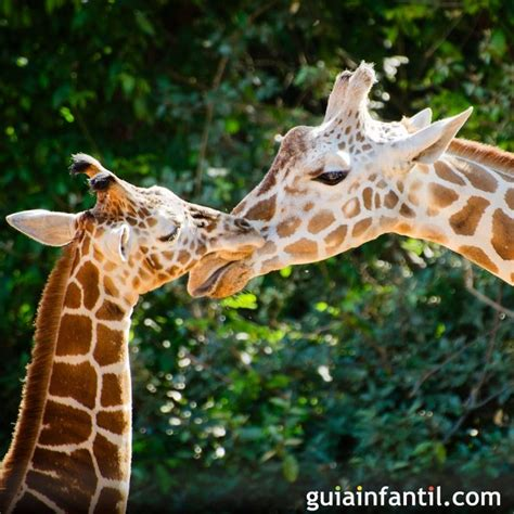 una jirafa se inclina  atender  su cria