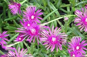 Winterharte Blumen Für Kübel : delosperma lineare stauden mittagsblume lila pflanzen versand harro 39 s pflanzenwelt kaufen ~ A.2002-acura-tl-radio.info Haus und Dekorationen