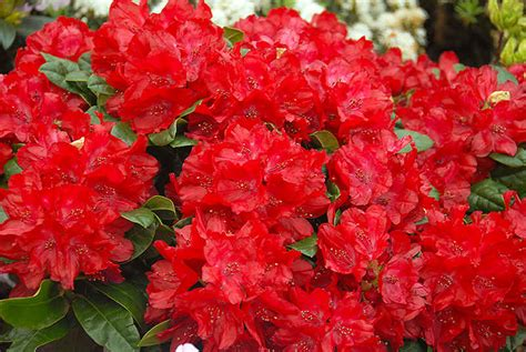 red flowering rhododendrons
