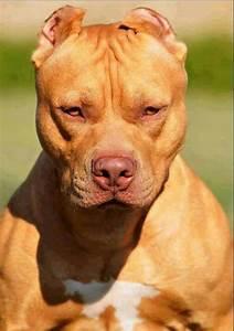 Badass game face | Pitbulls ONLY!!! | Pinterest | Game ...