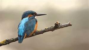 10 minutes of Common Kingfisher [HD] - YouTube  Kingfisher