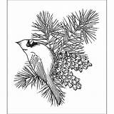 Pine Cardinal Cone Coloring Bird Branch Printable Drawing Bough Stamps Cardinals Creations Heartfelt Sketch Outline Overstock Birds Wood Cones Pinecones sketch template