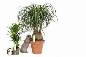 Welche Pflanzen Sind Nicht Giftig Für Katzen : elefantenfu giftig katzen ist elefantenfu 223 giftig f 252 r babys und haustiere wie katzen ~ Eleganceandgraceweddings.com Haus und Dekorationen