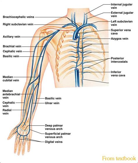 Diagram Of Arm Vessel by Left Extremity Veins Name Your Veins Correctly