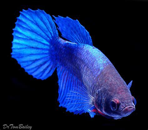 beta fish female betta fish for sale aquariumfish net
