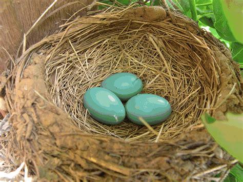 american robin migration update journey north news