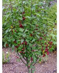 Quand Planter Un Pommier : malus velvet pillar pommier d 39 ornement pommier fleur ~ Dallasstarsshop.com Idées de Décoration