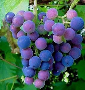 Achat Pied De Vigne Raisin De Table : raisin ~ Nature-et-papiers.com Idées de Décoration