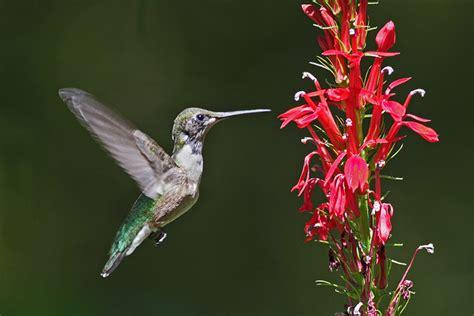 humming bird plants hummingbirds the plant farm