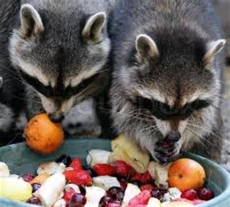 raccoons eating fruits raccoon image