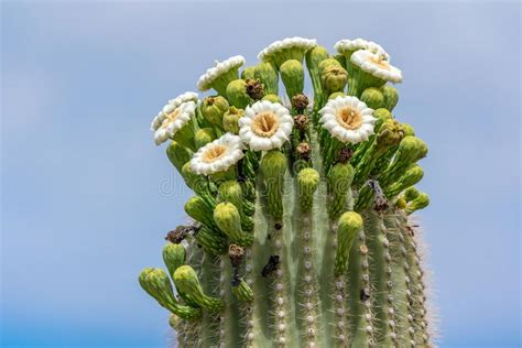 blooming saguaro cactus flower stock image image
