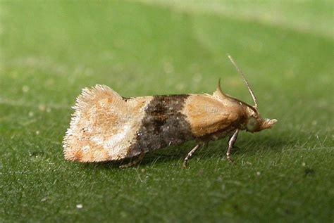http://www.ukmoths.org.uk/species/eupoecilia-ambiguella/