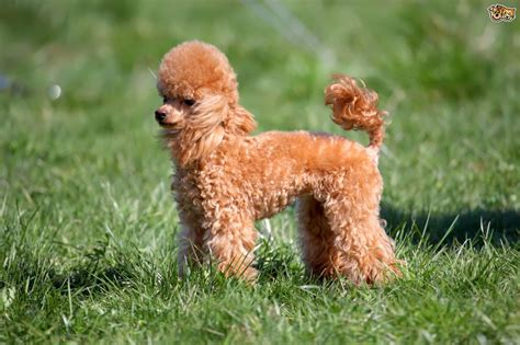 The Miniature Poodle Reserve Best In Show At Crufts