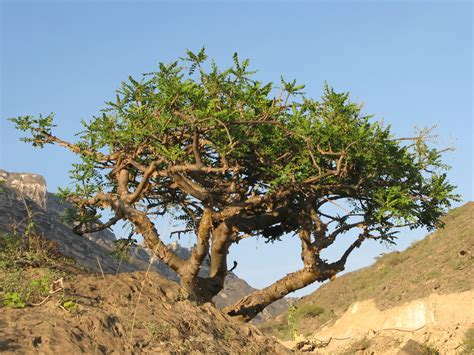 boswellia sacra tree dhofar eco bug volunteer to plant trees in salalah