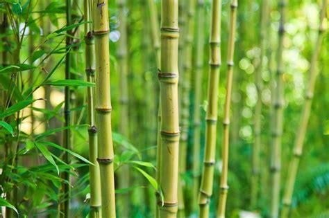 cuisine soleil ces variétés de bambou adaptées au balcon pratique fr