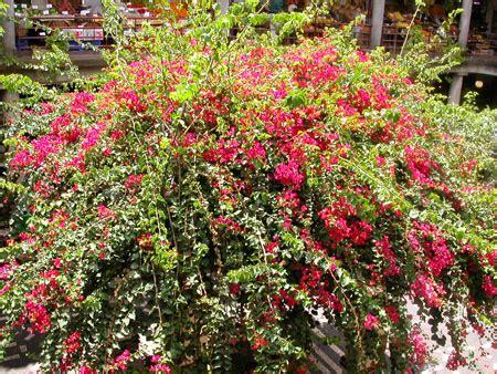 arbuste a fleur arbustes 224 fleurs pour terrain lourd
