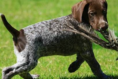 Pointer German Shorthaired Dog Gsp Hunting Puppy