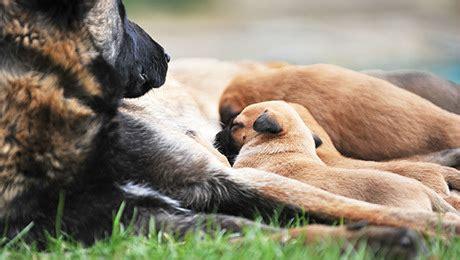 feeding  puppy purina arabia