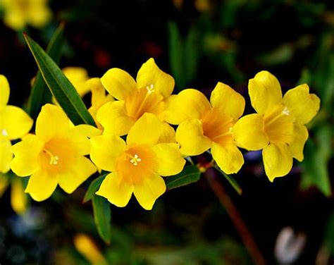 yellow flower vines pictures carolina jasmine yellow flowers climber plants climbing vine