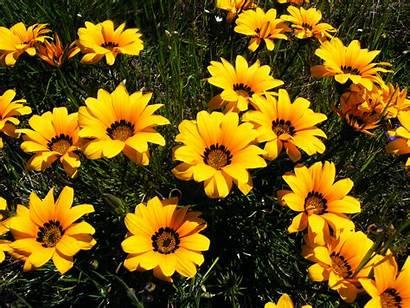 Gazania Pectinata Datei Flower Flowers Wikipedia Dewiki