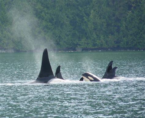 orcas  killer whales  whales gocampbellriver