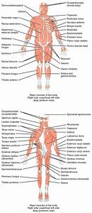 Diagram  Fill In The Blank Muscle Diagram Muscular System