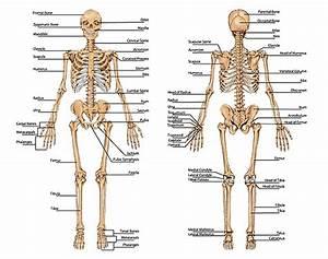 Skeletal System Introduction