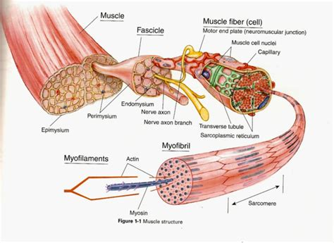 Smooth muscle anatomy and physiology i. Diagrams of Muscular System