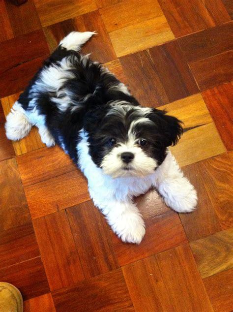 Moodle Maltese X Poodle Cross Shih Tzu 10 Weeks Old