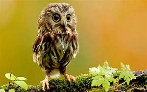 Northern Saw-Whet Owl | For The Love of Owls | Pinterest