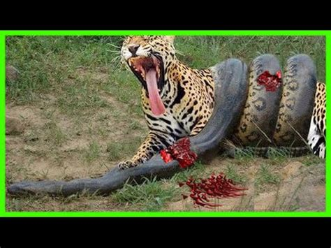 Lion vs Giraffe Fight To Death - Giraffe Wins - YouTube