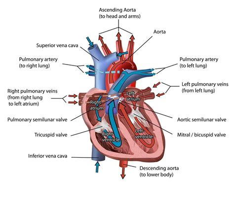 Name each part of the heart to answer the following questions. The Heart of the Matter   National Geographic Society