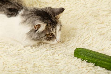 cucumbers afraid cats why wonder