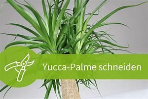 Pflanzen Schneiden Kalender : yucca palme schneiden 7 schnittanleitungen f r ein gesundes wachstum ~ Orissabook.com Haus und Dekorationen