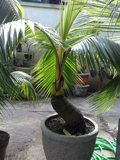 the best bonsai palm bonsai