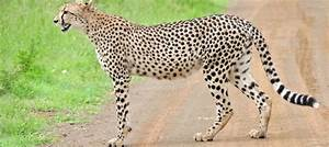 African Cheetahs Can Be Brought Into India  Rules Supreme