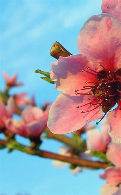 Nexus Spring Blossom Wallpapersafari