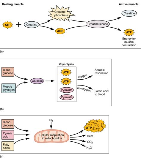 figure shows  metabolic processes  muscle
