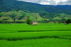 Chiangrai's Rice will Help Nation | Chiang Rai Times ...