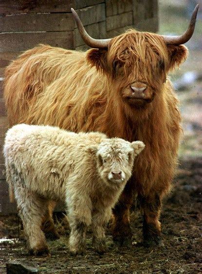highland cattle  boost richmond park conservation