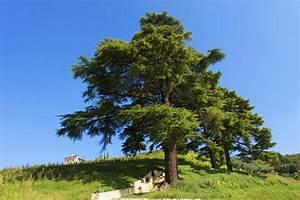 Lebanon Cedar Information: Tips On Growing Cedar Of ...