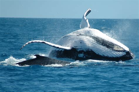 Best Hd Whale Photo by Humpback Whale Wallpapers High Quality Free