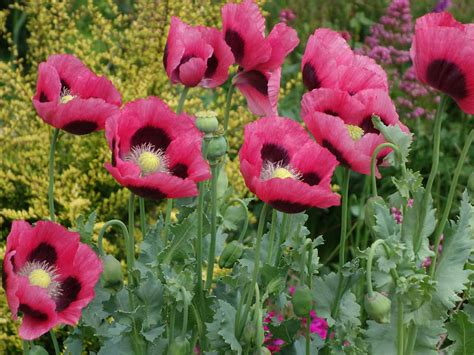 growing poppies how to grow oriental poppies saga