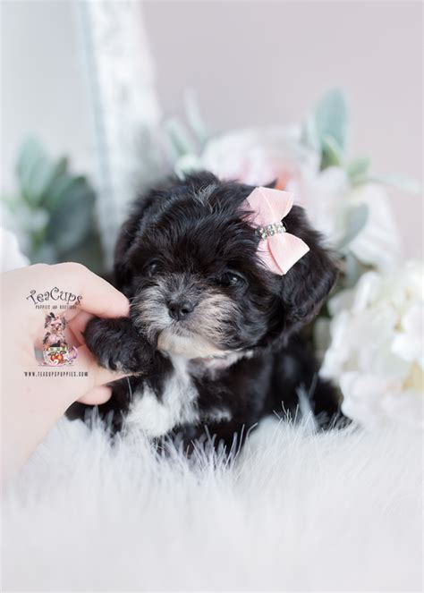 maltipoo puppies davie teacups puppies boutique