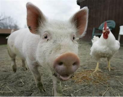 Farm Animals Pig Animal Pigs Happy Sanctuary