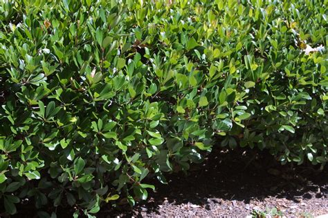 hedge bushes types top 28 shrub types with pictures juniper bushes types bing images pictures of shrubs types