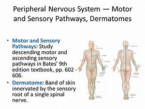 Central and Peripheral Nervous System — Key Definitions ...