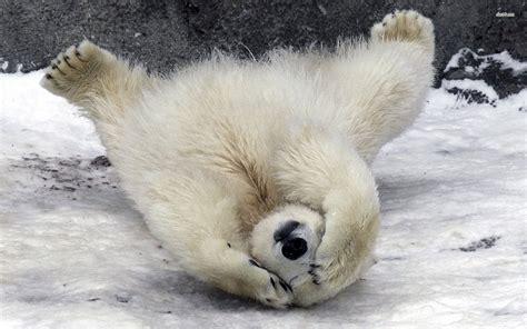 Shy Polar Bear Wallpaper